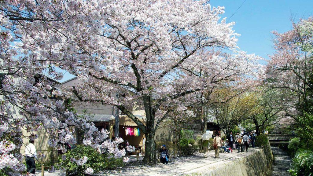 春、さくらの咲き誇る哲学の道 - -京都- -