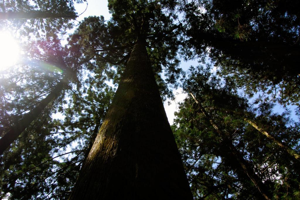 参道の途中にそびえる綺麗なカタチの傘杉 - -愛知県新城市鳳来寺- -