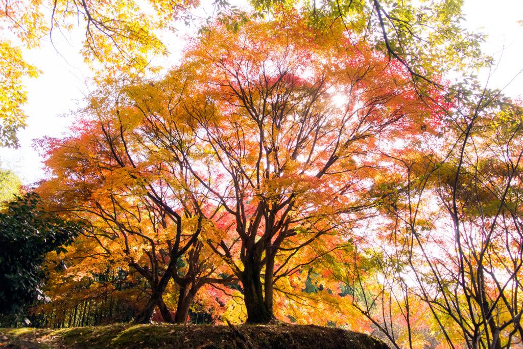 大給城址のカエデ:ひっそりと佇む山中の城址、そこでは見事な紅葉をひとりじめできる場所が - -愛知県豊田市松平郷近くの大給城址- -