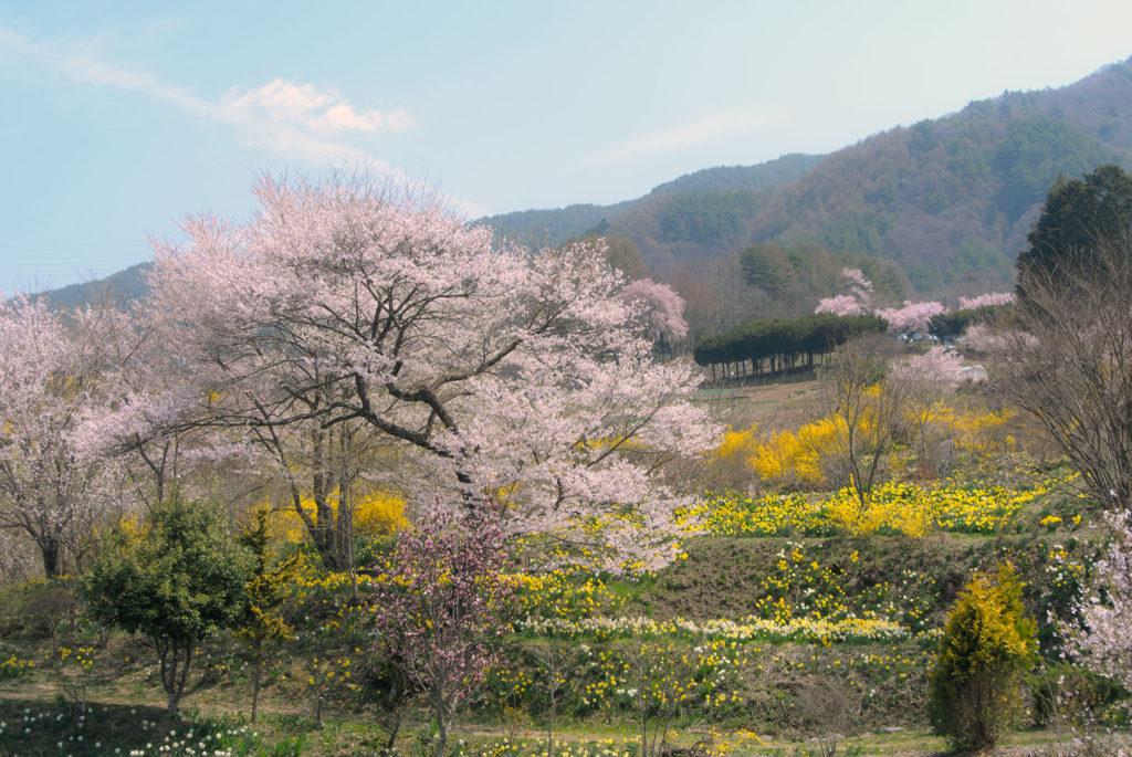 春のいろどりをまとう丘:ポレポレの丘 - -伊那市高遠町- -