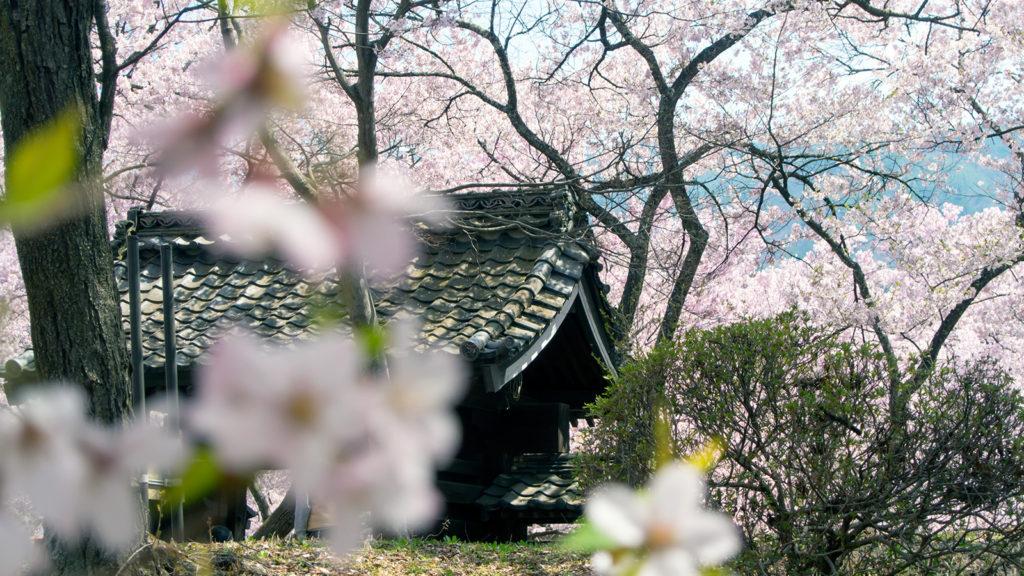 可憐なピンクに染められた歴史ある城址:高遠城址公園 - -伊那市高遠町- -