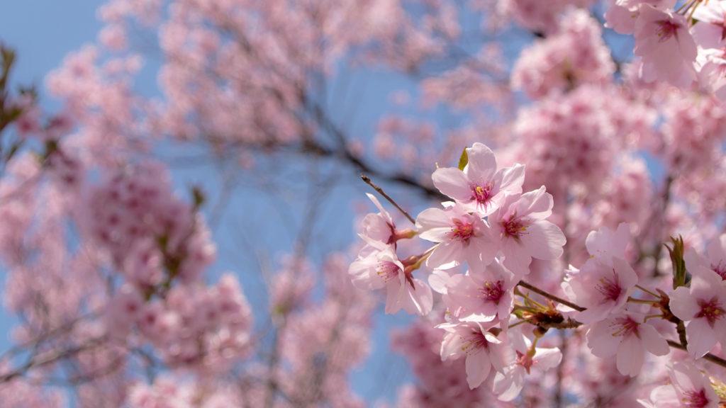 可憐な花びらが特徴のタカトオコヒガンザクラ - -伊那市高遠町- -