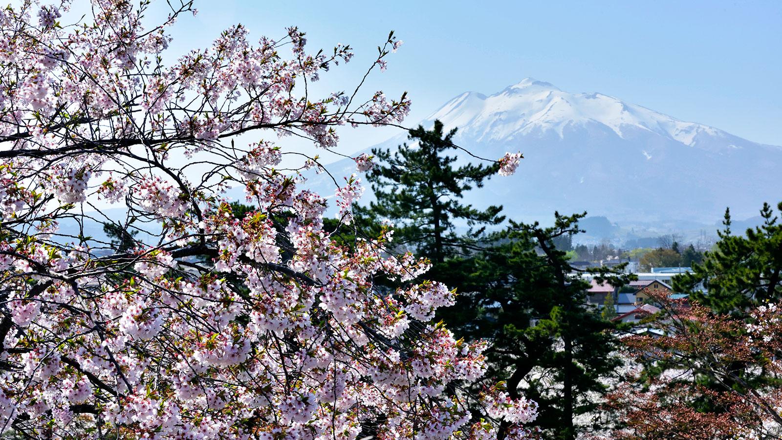 桜の花の向こうにそびえる津軽富士 - -弘前市:岩木山- -