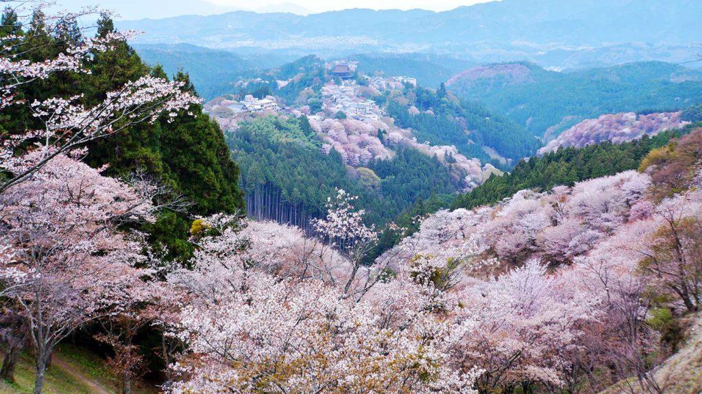 山々をピンクに染める吉野の山桜 - -奈良県吉野町- -