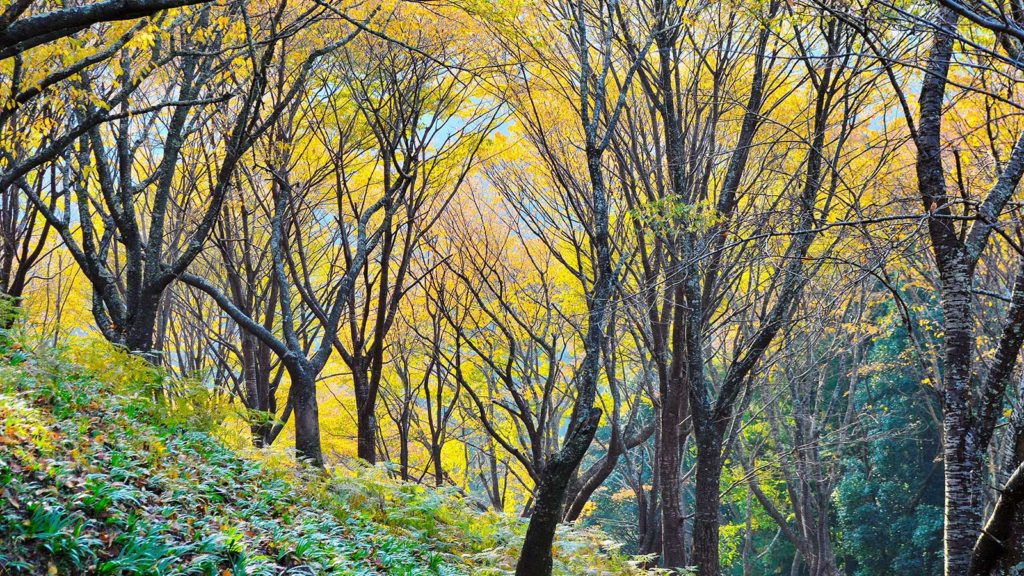 山桜主体の吉野の紅葉 - -奈良県吉野町- -