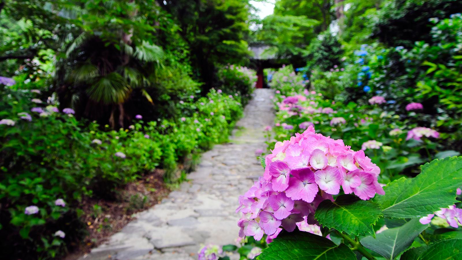 山門へと続く坂道の参道、両脇にはあじさいが咲く - -愛知県:本光寺- -