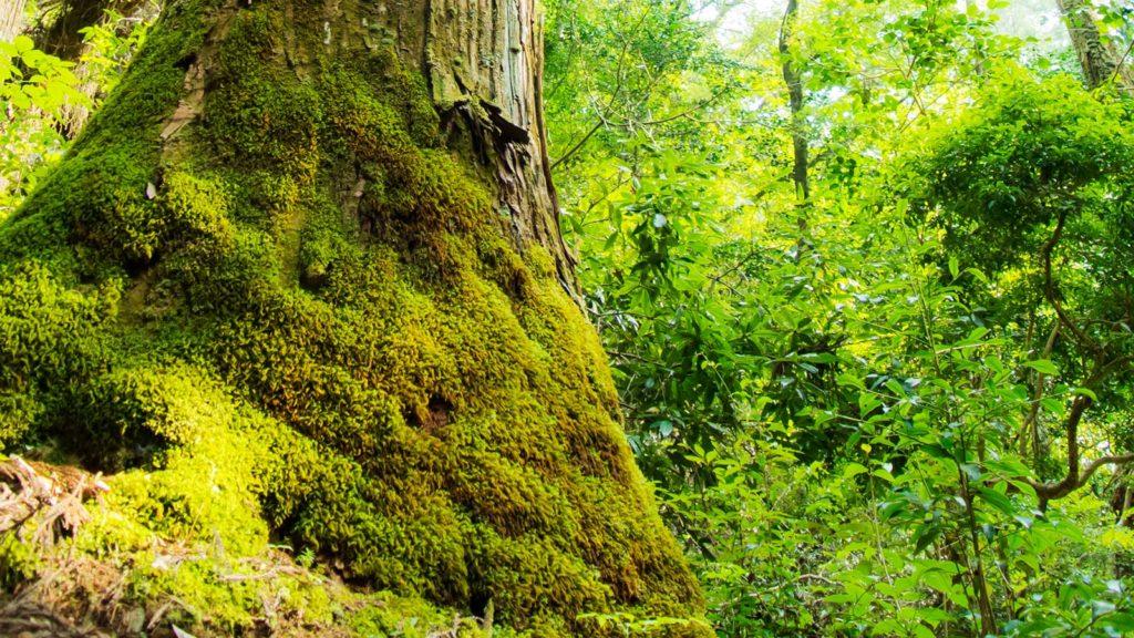 杉の巨木の根元は鮮やかな緑の苔に覆い尽くされている  - -愛知県の観光、撮影スポット:阿寺の七滝- -