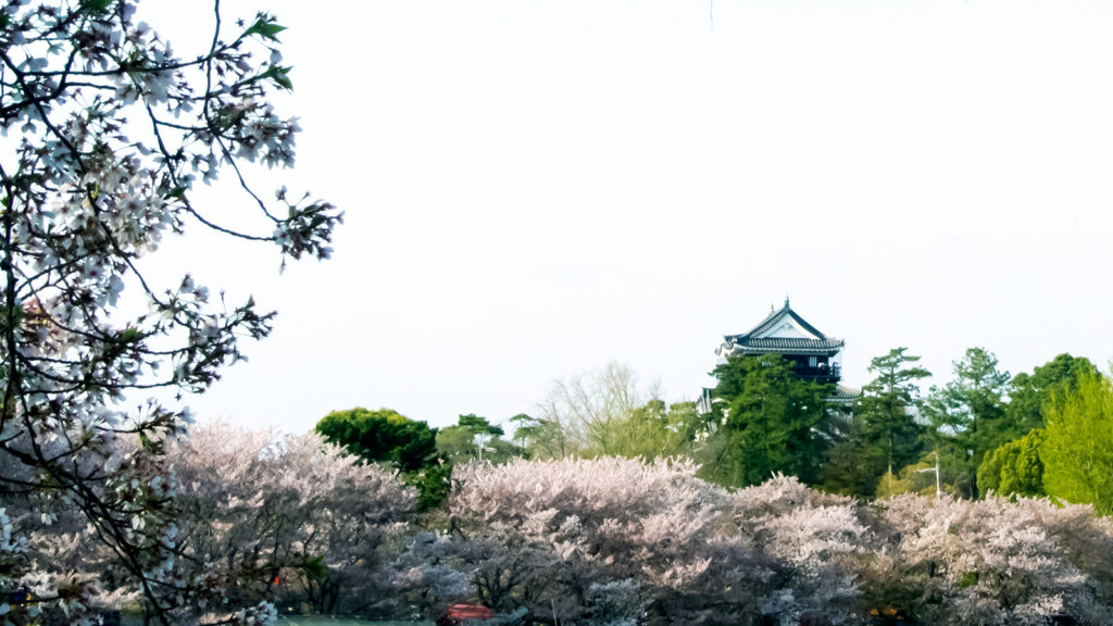 サクラの花が咲き誇る岡崎城 - -愛知県岡崎市- -