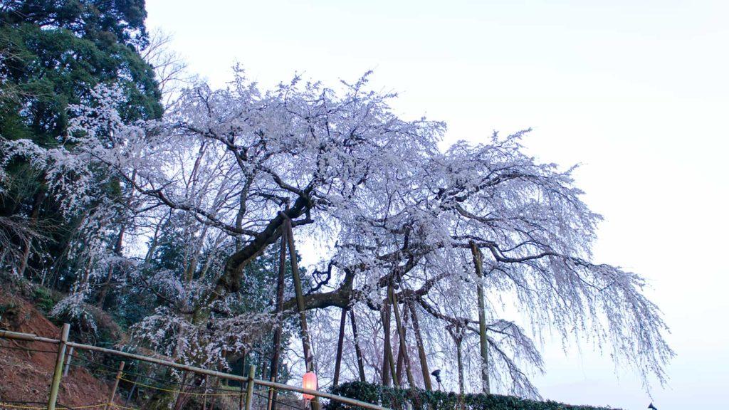 早朝、澄んだ空気のなかの奥山田のしだれ桜 - -愛知県岡崎市にある観光、撮影スポット- -