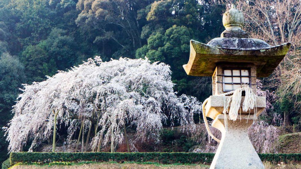 近くの道路から見た奥山田のしだれ桜道路わきの石灯篭と - -愛知県岡崎市にある観光、撮影スポット- -
