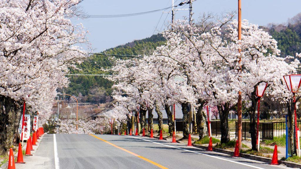 石上神宮へと至る県道には桜の並木が続き春にはいっそうの華やぎを感じさせる  - -奈良県天理市にある観光、撮影スポット- -