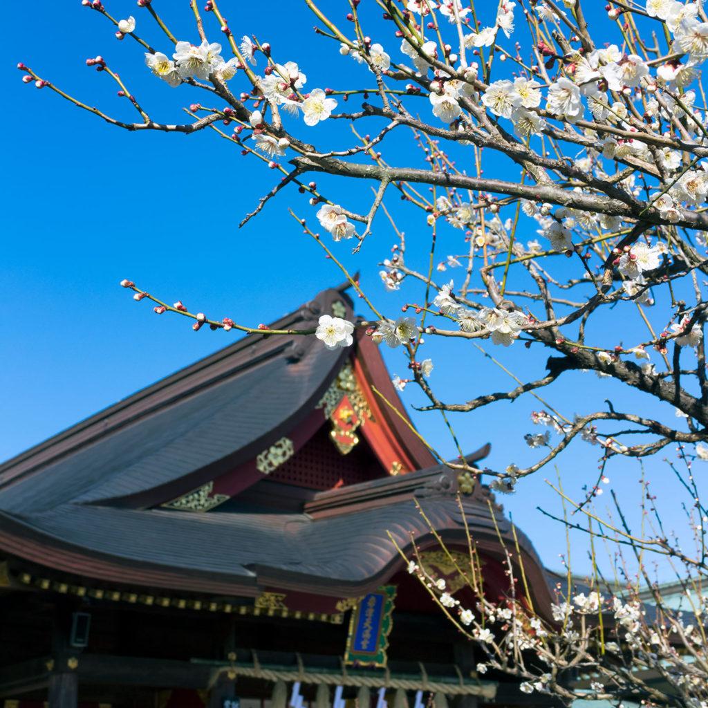梅の花を愛した天神様、拝殿を背にした梅の花 - -愛知県岡崎市:岩津天満宮- -