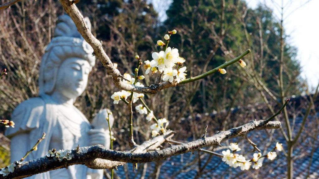 本堂前の梅の花 - -愛知県の観光、撮影スポット:本光寺- -