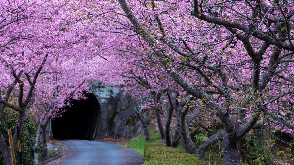 河津の桜並木、その向こうにトンネルが口を開ける - -愛知県新城市長篠にある観光、撮影スポット- -