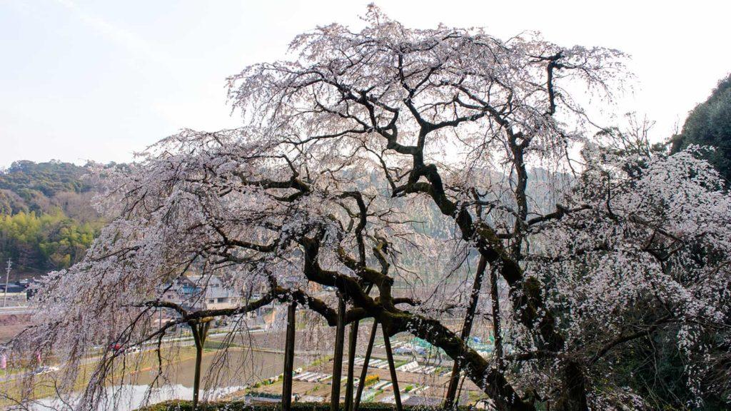 奥山田のしだれ桜、周囲の山に作られた遊歩道から迫力のすがたを見られる - -愛知県岡崎市にある観光、撮影スポット- -