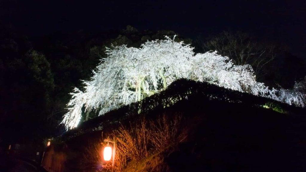 夜間ライトアップされ闇に白く浮かび上がる奥山田のしだれ桜 - -愛知県岡崎市にある観光、撮影スポット- -