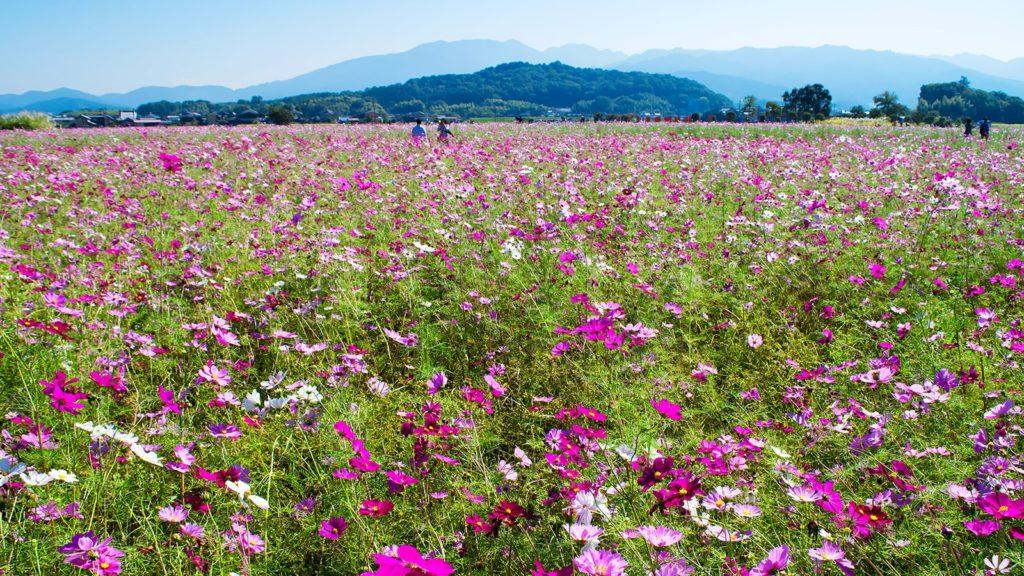 天香具山も一面に咲くコスモスを見守るようだ:藤原宮跡 - -奈良県橿原市にある観光、撮影スポット- -