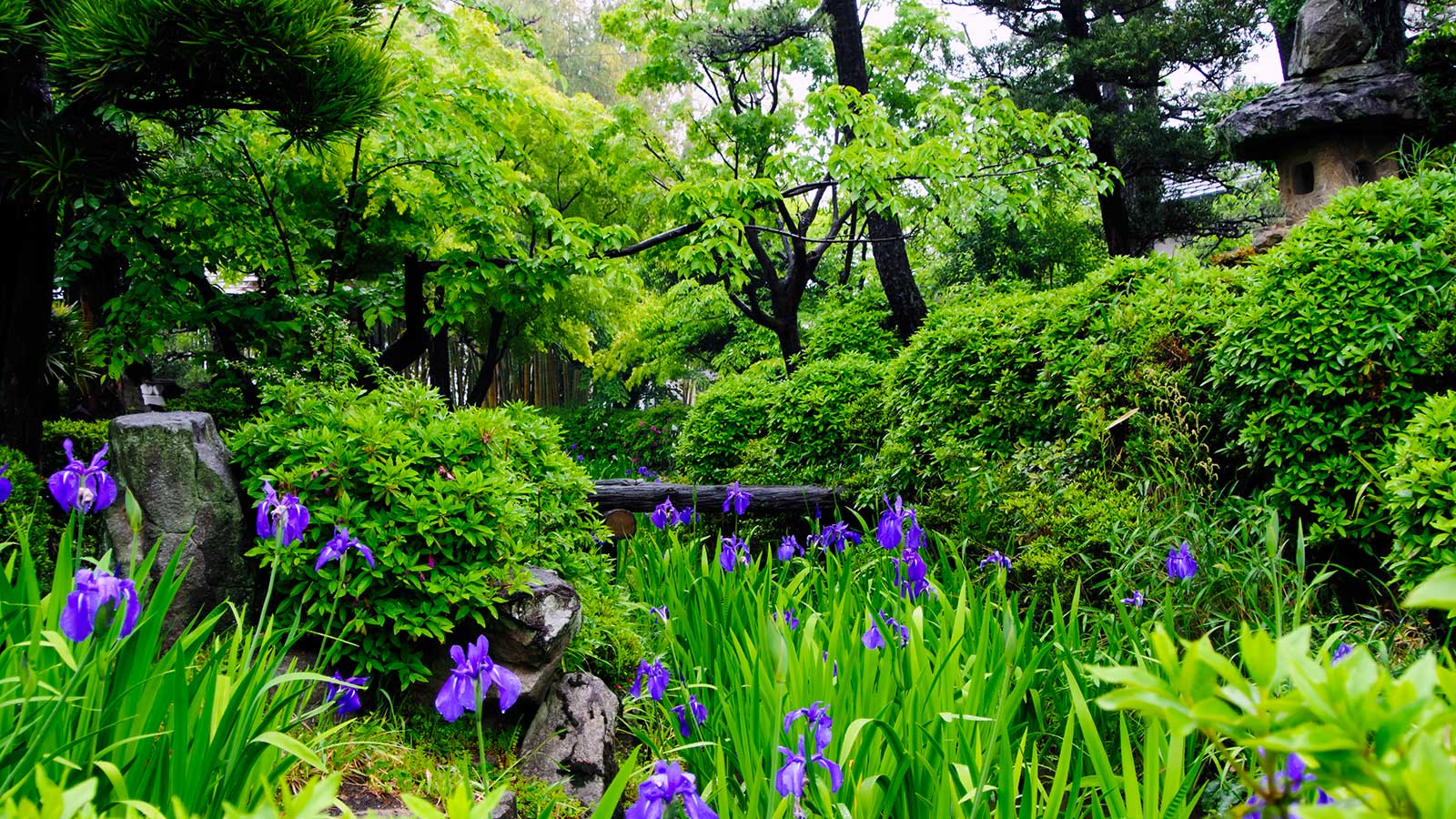 雨の日は億劫になるが、雨だからこそ映えるかきつばたの画もある - -愛知県知立市にある観光、撮影スポット- -