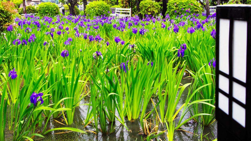 八橋かきつばた園の池に咲くかきつばた  - -愛知県知立市にある観光、撮影スポット- -