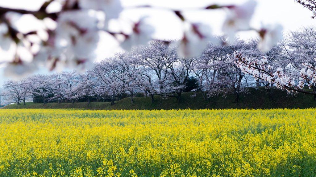 春、満開の桜と菜の花の競演が愉しめる藤原宮跡 - -奈良県橿原市にある観光、撮影スポット- -