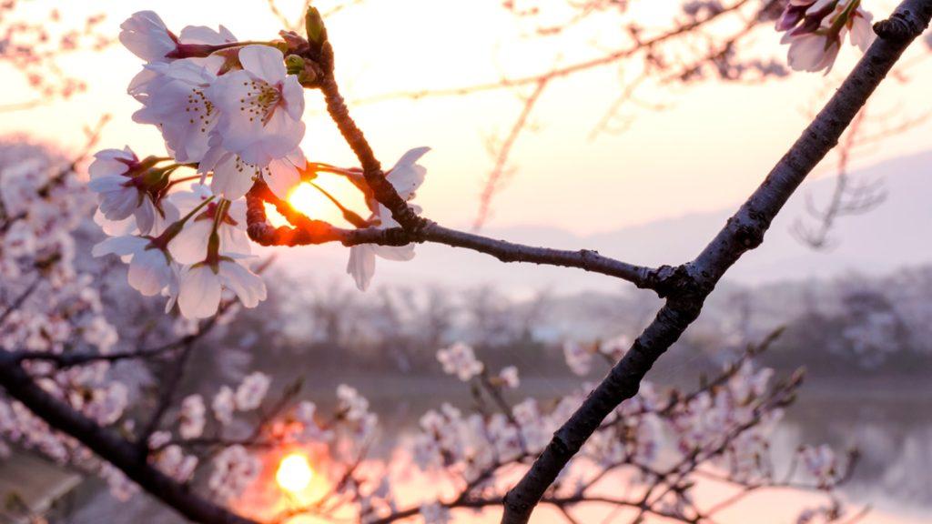 日いづるころ満開の桜も輝きを増し醍醐池に映える - -奈良県橿原市にある観光、撮影スポット- -