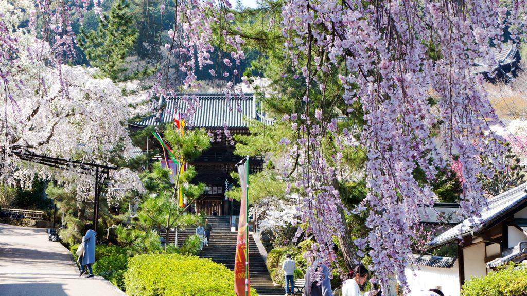 長谷寺仁王門としだれ桜 - -奈良県桜井市にある観光、撮影スポット- -