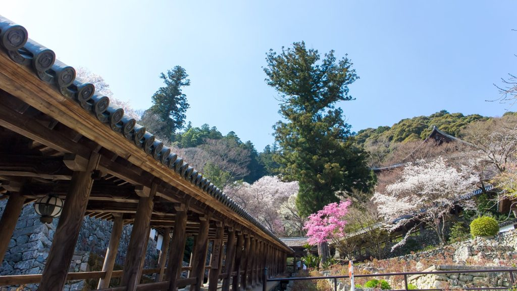 牡丹の花咲く季節には登廊の脇を牡丹が埋め尽くす - -奈良県桜井市にある観光、撮影スポット- -