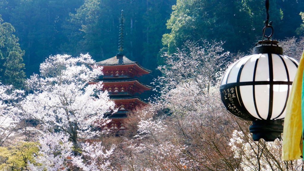 長谷寺本堂の舞台から望む五重塔、桜も陽の光に輝く - -奈良県桜井市にある観光、撮影スポット- -