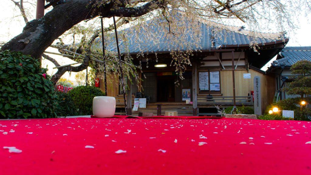 本堂前の大きなしだれ桜の古木、花の散ったあとの儚げな風情も美しい - -愛知県西尾市にある観光、撮影スポット- -