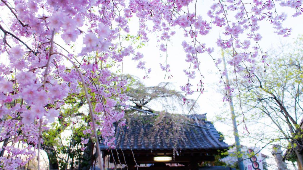 山門へとつづく源空院の参道には若いしだれ桜が並木を作る - -愛知県西尾市にある観光、撮影スポット- -