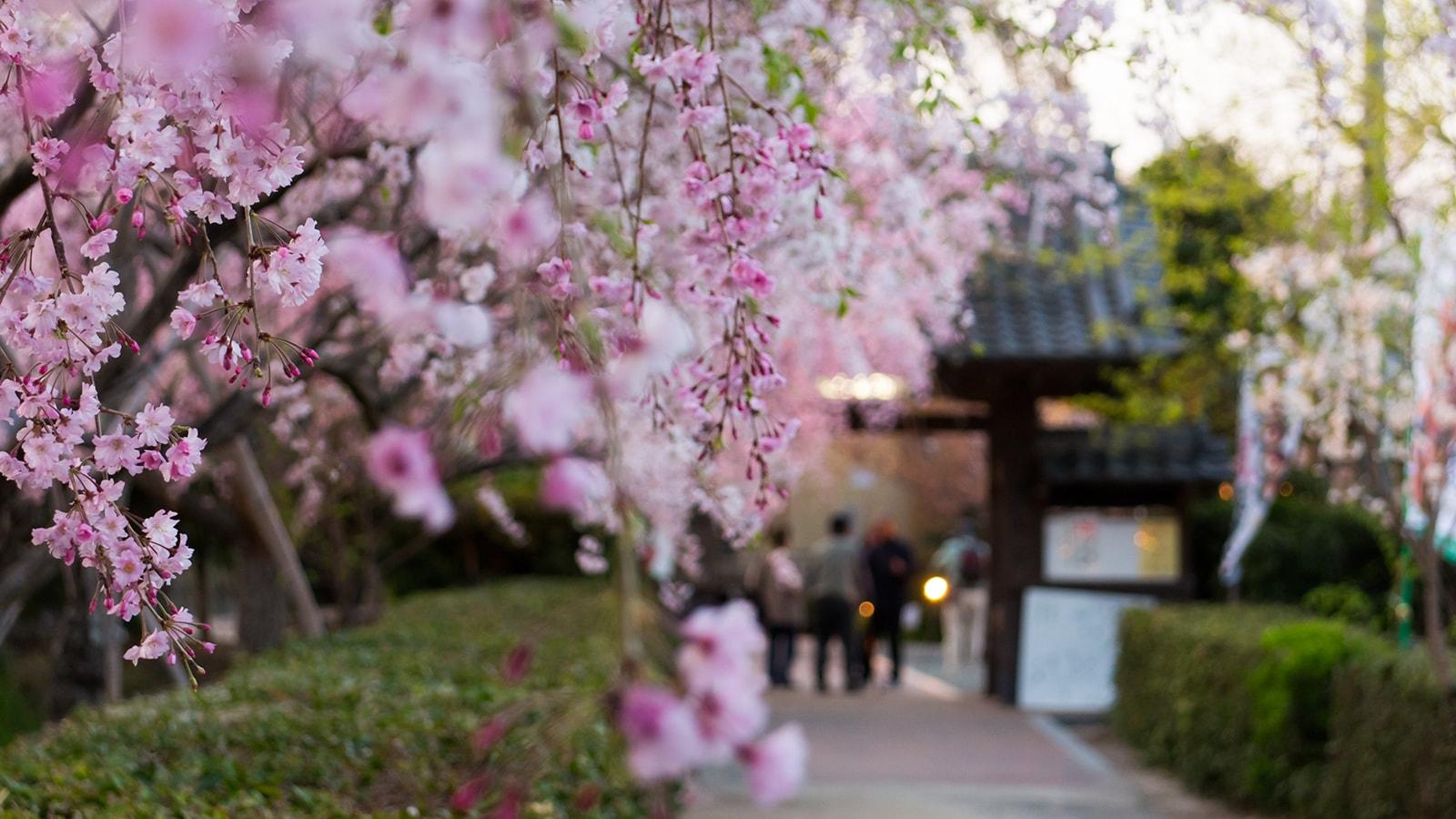 源空院の参道。しだれ桜の向こうに見える山門の風情が美しい - -愛知県西尾市にある観光、撮影スポット- -