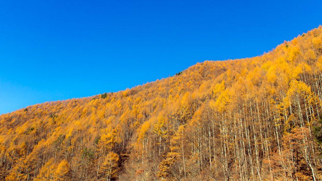 紅葉の終わりごろ、カラマツの燃えるような色に染まる信州武石峠近くの竜ヶ沢ダム  - -長野県上田市にある観光、撮影スポット- -