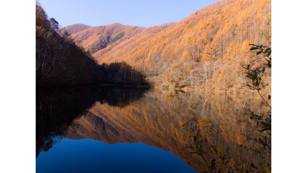 竜ヶ沢ダムの湖面に映りこむ見事なカラマツの紅葉、まさに絶景が目の前に・・・ - -長野県上田市にある観光、撮影スポット- -