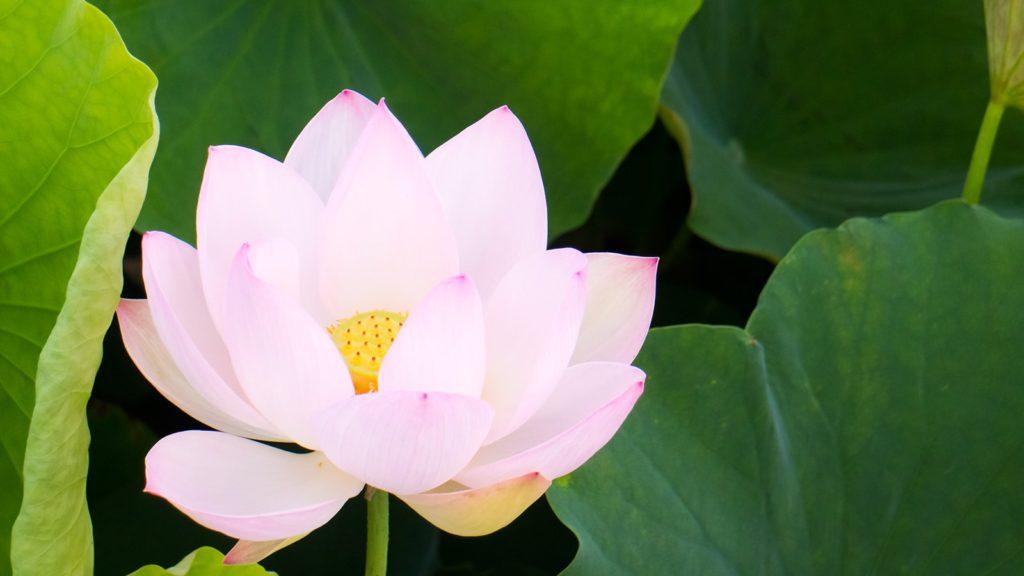 朝、日の光を浴びて輝きを出す蓮の花:藤原宮跡 - -奈良県橿原市にある観光、撮影スポット- -