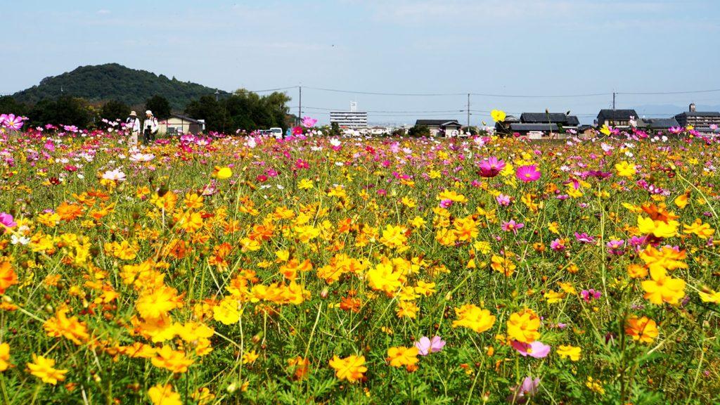 耳成山を背に一面に咲くコスモス:藤原宮跡 - -奈良県橿原市にある観光、撮影スポット- -