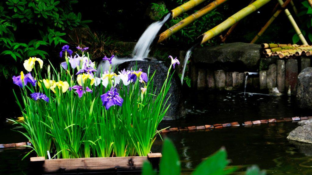 池には菖蒲の花も添えられ花の寺の名にふさわしい風情を出している長谷寺 - -神奈川県鎌倉市にある観光、撮影スポット- -