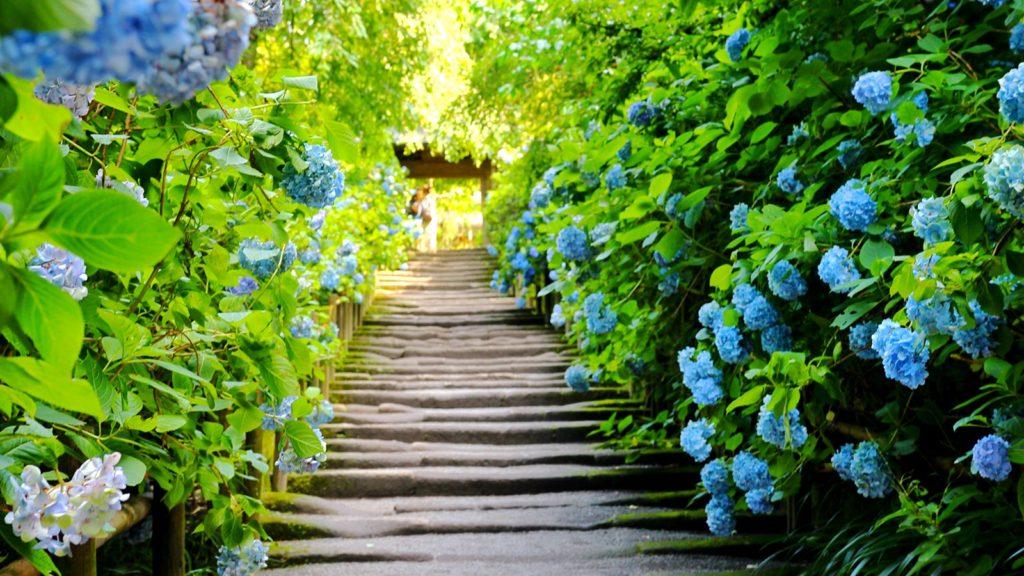鎌倉のあじさい寺:明月院を象徴する山門へとつづく参道の風景 - -神奈川県鎌倉市にある観光、撮影スポット- -