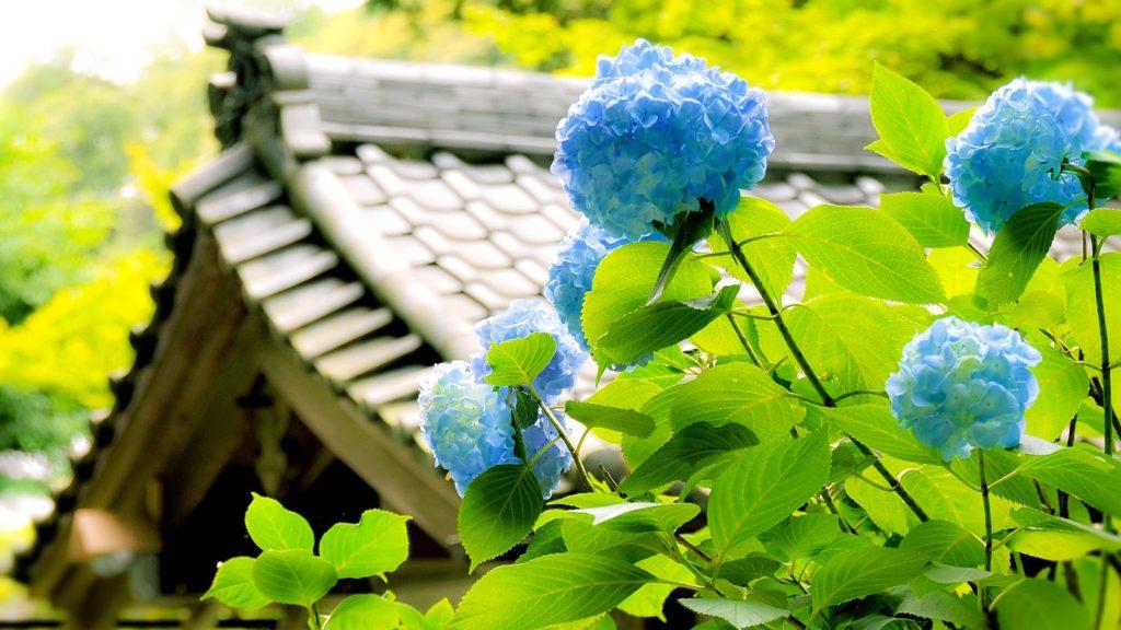 明月院ブルーに囲まれた境内は幽玄な雰囲気に包まれる - -神奈川県鎌倉市にある観光、撮影スポット- -