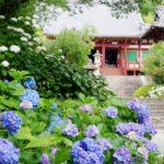 あじさいの花が出迎える梅雨時の矢田寺境内 - -奈良県大和郡山市にある観光、撮影スポット- -