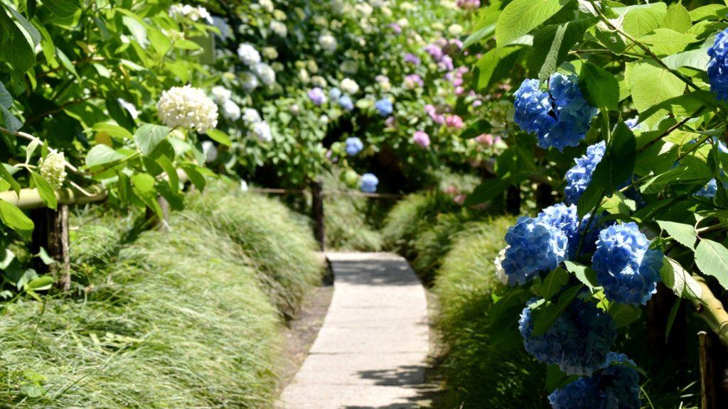 境内には約10,000株ものあじさいがある矢田寺 - -奈良県大和郡山市にある観光、撮影スポット- -