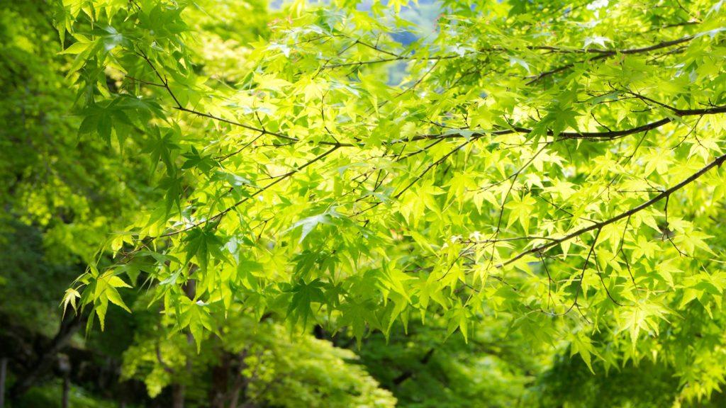 初夏の新緑が輝く香嵐渓 - -愛知県豊田市にある観光、撮影スポット- -