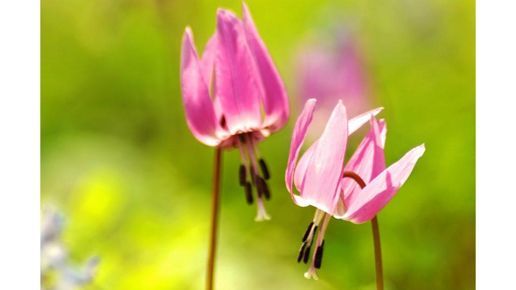 春の訪れを告げる可憐なカタクリの花。香嵐渓にはカタクリが群生している - -愛知県豊田市にある観光、撮影スポット- -