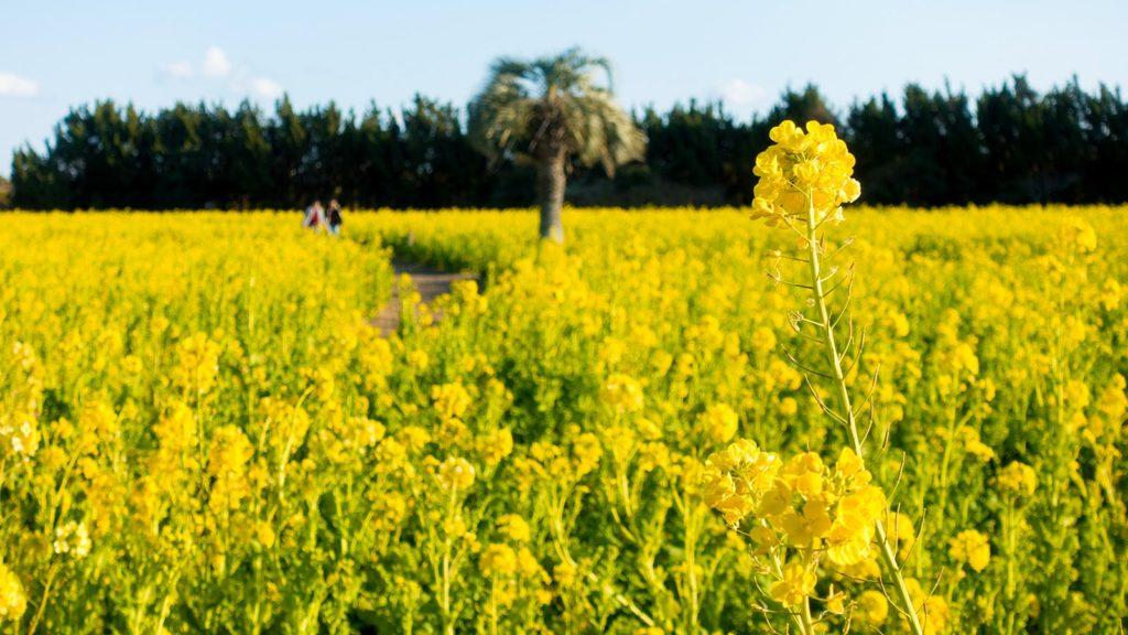 渥美半島には春の訪れを先取りできる菜の花畑も多くあり観光客を愉しませる  - -愛知県田原市にある観光、撮影スポット- -