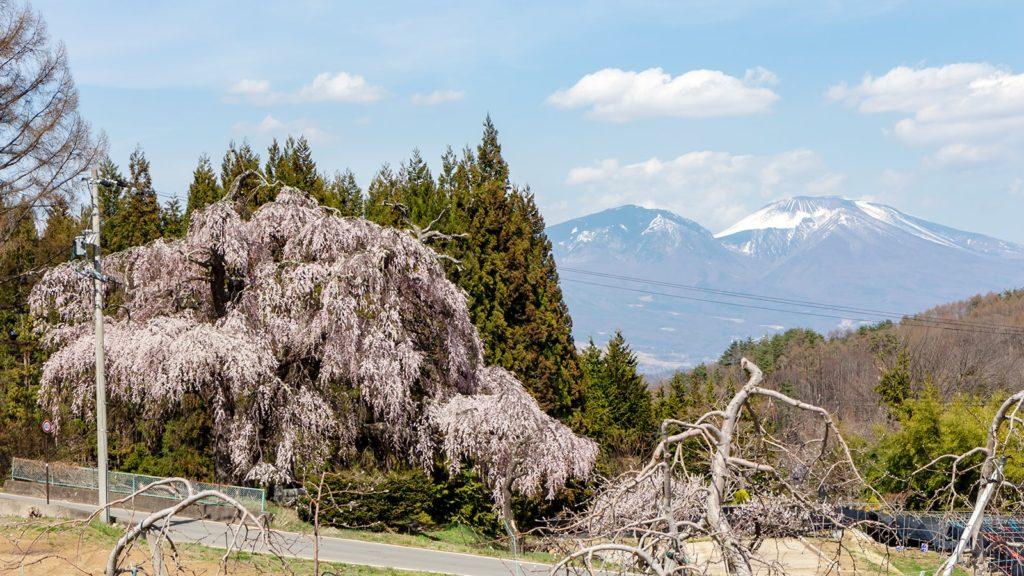 長野県立科町、枝垂れ桜と浅間山:信州たてしなフォトコンテスト