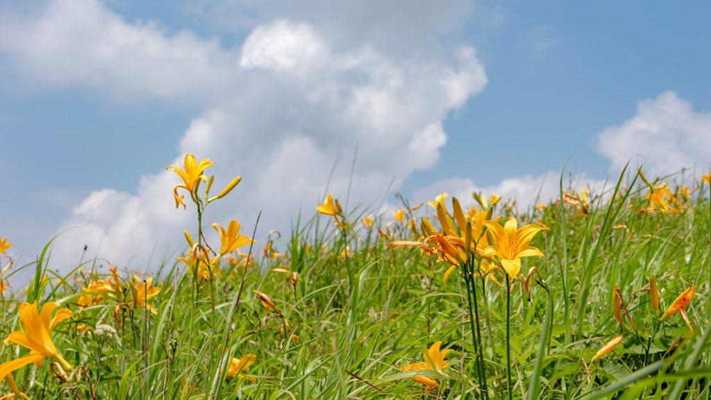 霧ヶ峰の青い空と白い雲、緑の草原、そしてニッコウキスゲ