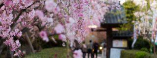 しだれ桜の名所:源空院(愛知県にある観光、撮影スポット)