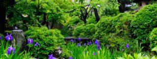 平安の世に知られたかきつばたの名所:八橋かきつばた園(愛知県知立市にある観光、撮影スポット)