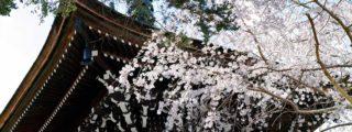 山桜がおりなす絶景:吉野山(奈良県の観光、撮影スポット情報)
