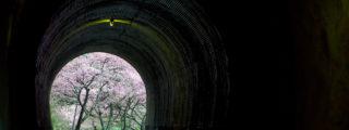 トンネル越しに見る河津の桜並木(愛知県新城市長篠の観光、撮影スポット)