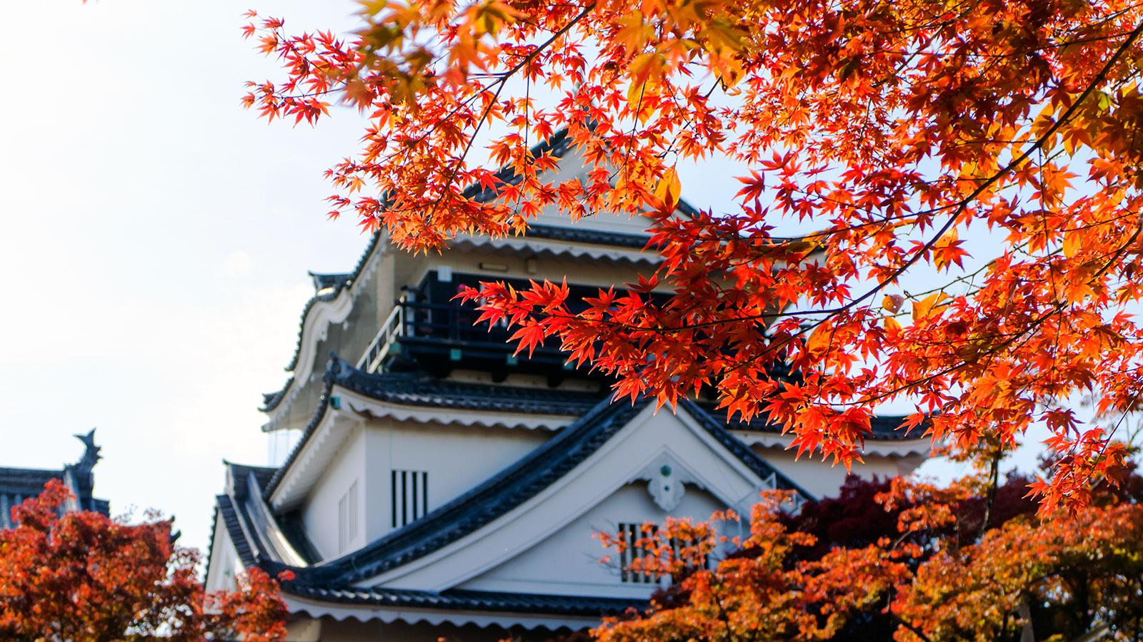 城さが際立つ天守閣をバックに赤く色づいたもみじ - -愛知県岡崎市- -